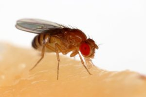 Drosophila melanogaster, or the common fruit fly