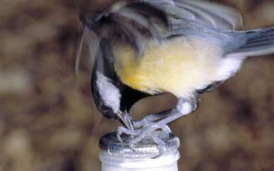 A blue tit stealing cream from the top of a milk bottle, a phenomenon that first began in Britain in the 1920s