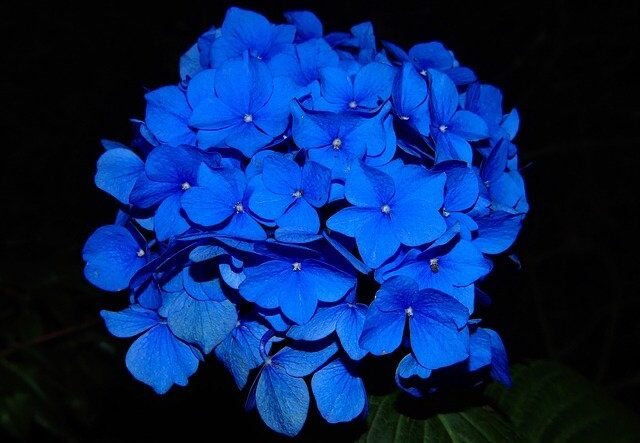 Blue Hydrangea, the Blue Death flower