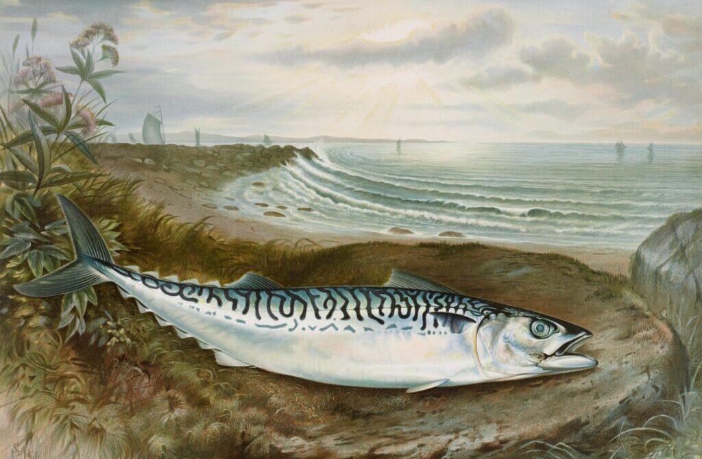 Mackerel fish chromolithograph (1878) by Samuel Kilbourne
